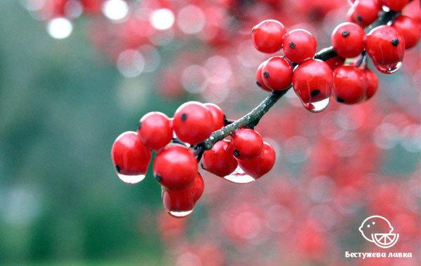 Калина: корисні властивості калини і протипоказання для здоров'я людини, правила вживання