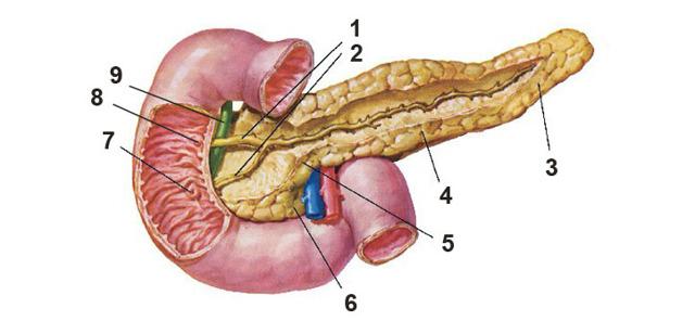 Який орган вважається головним в травленні у людини?