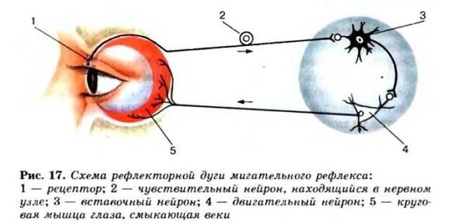 Зіничний рефлюкс: схема рефлекторної дуги, можливі порушення
