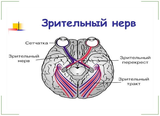 Зоровий нерв: анатомія і функції, як утворений зоровий канал (схема), лікування захворювань