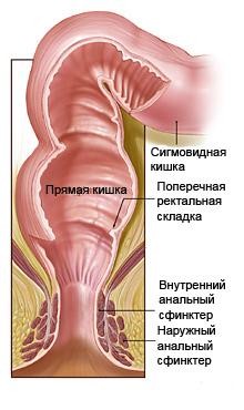 Пряма кишка: розташування, будова і функції органу