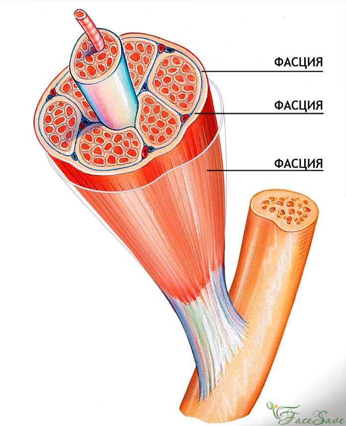 функції міофасцій