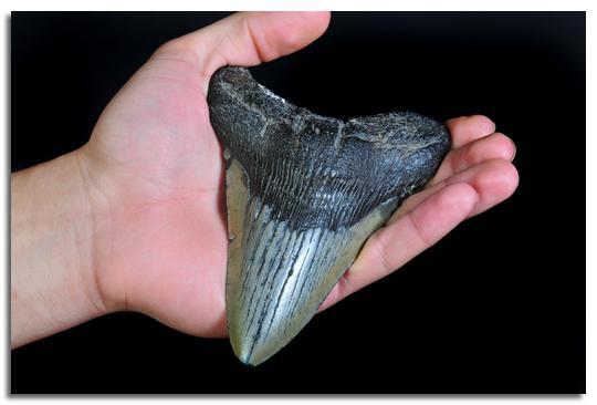 Як часто у акули змінюються зуби. Як ростуть зуби у акули