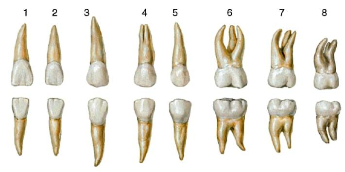 Кількість коренів зуба