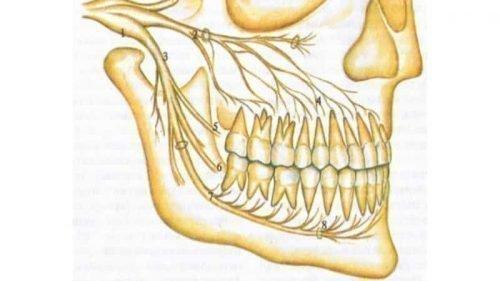 Нервові пучки в щелепах