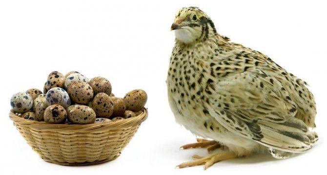 перепел і перепелині яйця