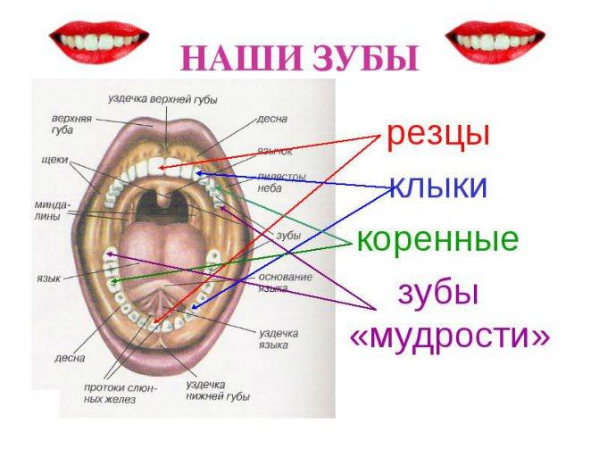 Розташування зубів