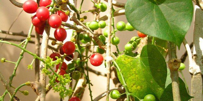 рослина Гудучі