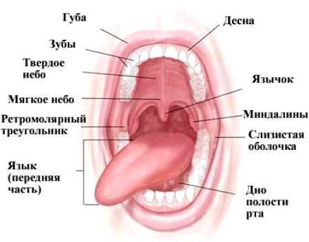 Будова порожнини рота