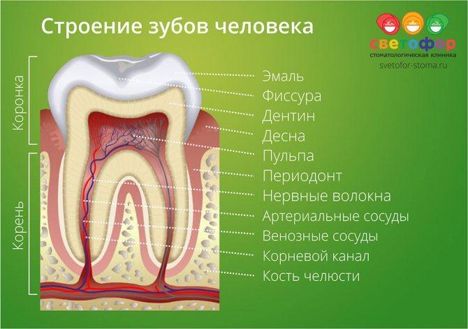 Будова зубів людини