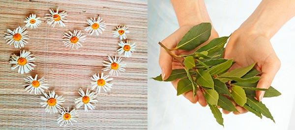 зміцнення волосся лавровим листом і ромашкою