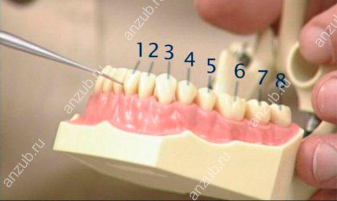 Зуби порядок розташування у дорослих